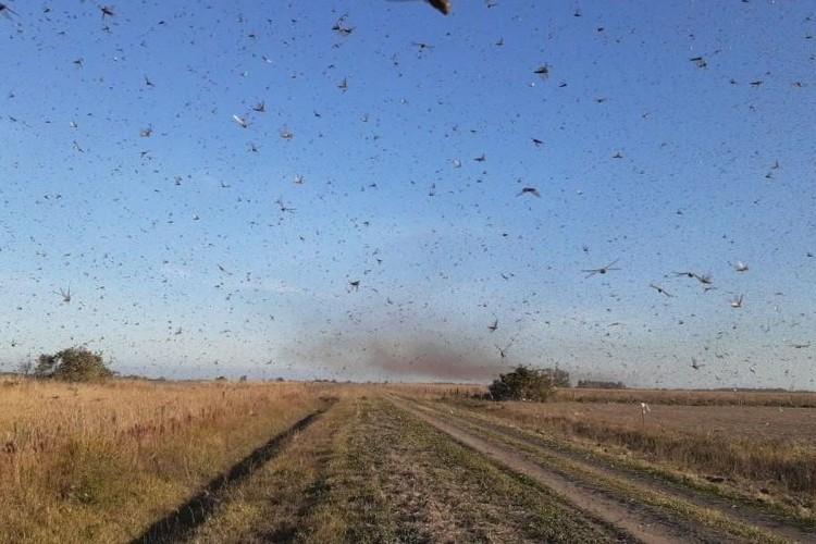 https://radiofm97.com.br/uploads/news/Nuvem de gafanhotos volta a preocupar agricultores brasileiros